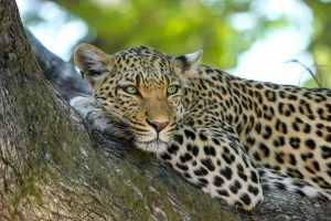 leopard, animal, safari