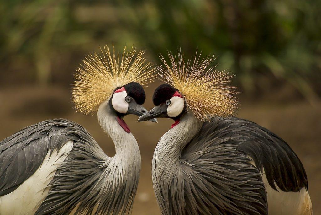 grey crowned cranes, birds, cranes
