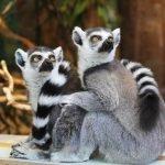 lemurs, animals, zoo