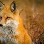 fox, animal, wildlife